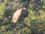 Vulture on a Branch by Sabreleopard