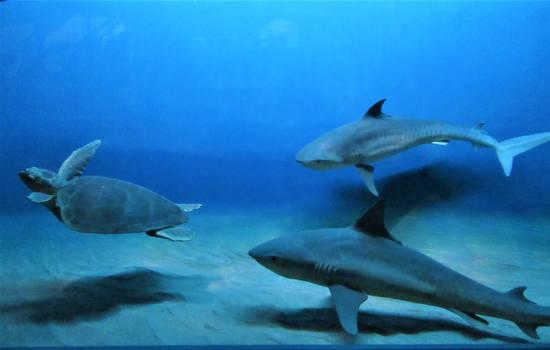 AMNH Tiger Sharks vs Loggerhead Turtle