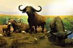 AMNH African (Cape) Buffalo