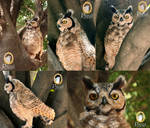 Great Horned Owl (Bubo virginianus nacurutu) by PicuiDove