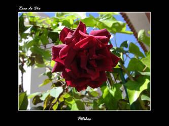 Rosa de Dio