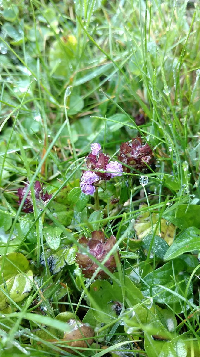 Dew drops and clover flowers