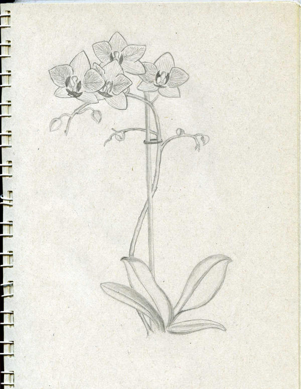 Pencil Drawings Orchids Orchid sketch by aprilryan