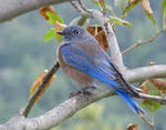 Western Bluebird by Akril15
