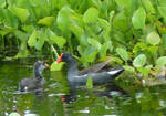 Common Gallinule with Chick