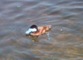 Ruddy Duck by Akril15