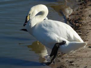 Hybrid Swan
