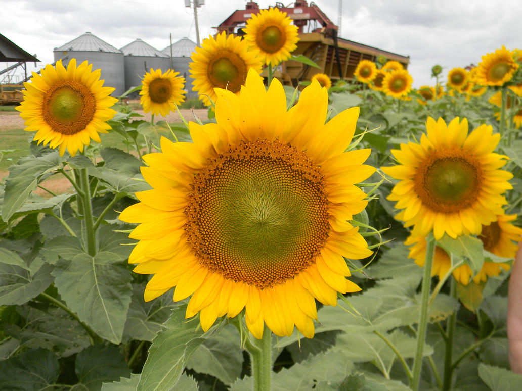 Sunflower Invasion by stardust4ever