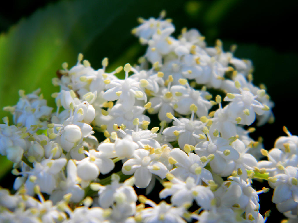 elderberry flowers by veykava