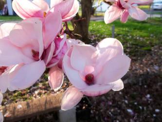 Japanese Magnolia Tree Flowers by TreePruitt