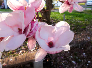 Japanese Magnolia Tree Flowers