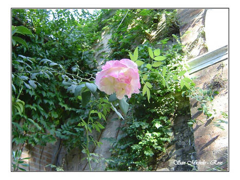 Venice - Rose of San Michele