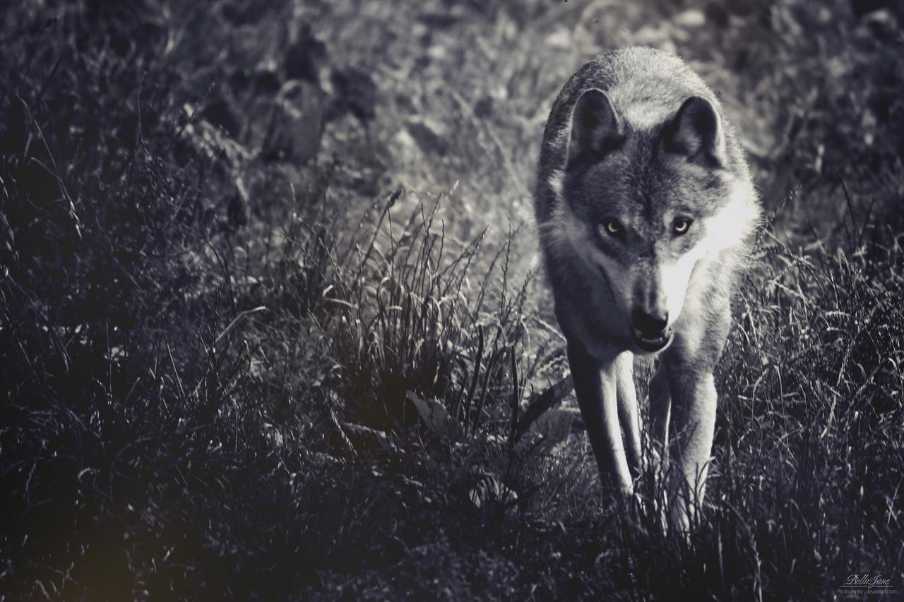 Evil wolf by xXBellcatXx