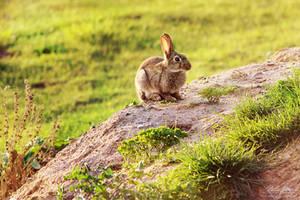 Wild rabbit by IsabellaJainePhoto