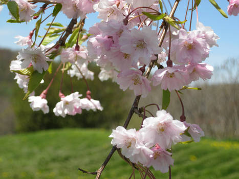 Weeping Cherry Tree 14