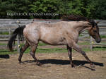 Blue roan canter