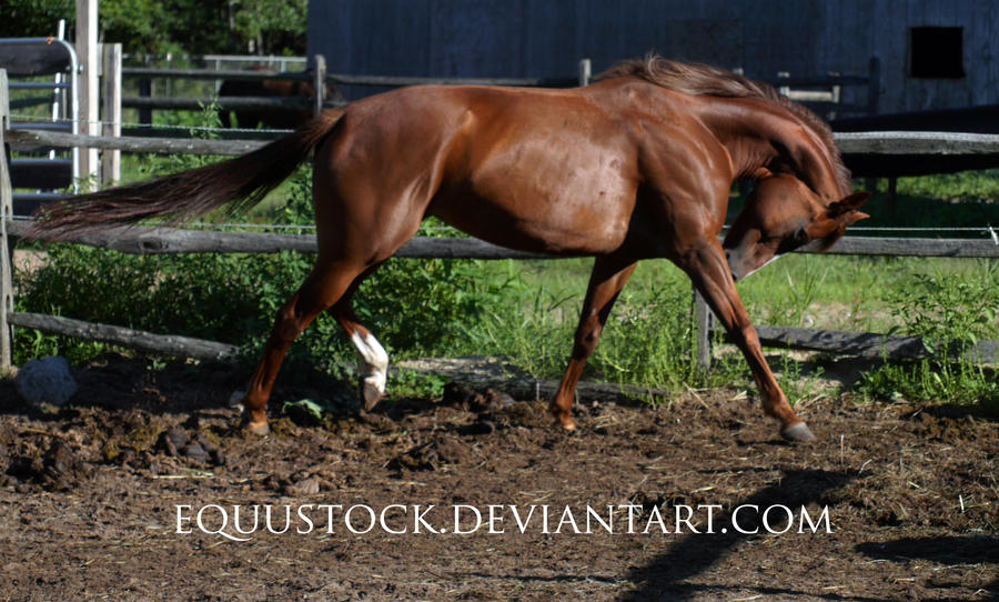 Chestnut quarter horse trot head down by equustock