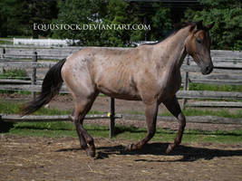 Blue roan quarter horse canter by equustock