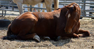 Chestnut quarter horse laying down head looking in