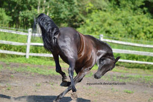 Black warlander bucking series I by equustock