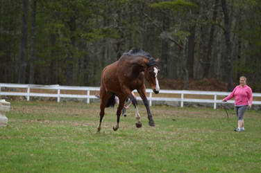 Bay Thoroughbred mare leaping by equustock