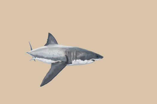 Carcharodon carcharias Illustration