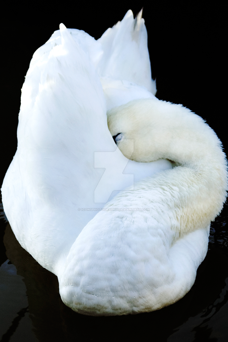The Sleeping Swans >> Sleeping Swan By Iconsphotography On Deviantart