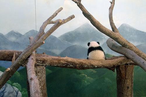 The panda by zhangdongqin