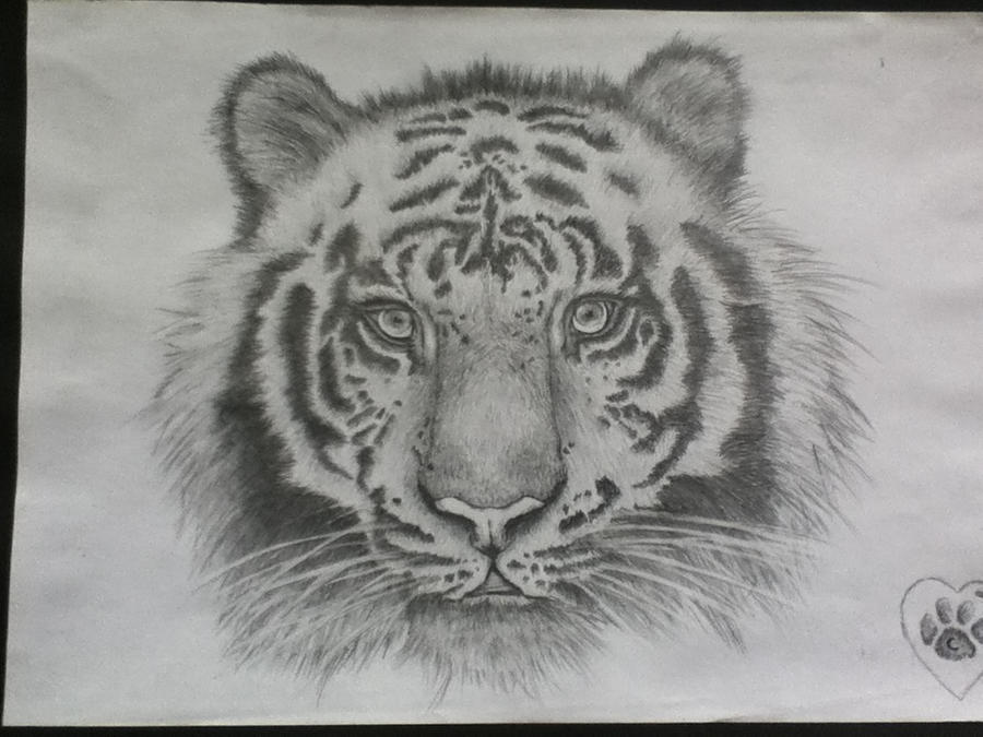 Tiger (pencil drawing) by courtney88crisp on DeviantArt