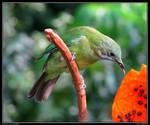 Greater Green Leafbird