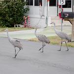 Dancin' Cranes by Calypso8888