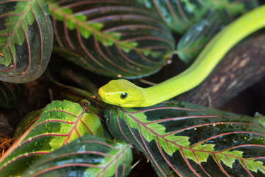 Green Snake by Persephonie1019