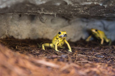 Poison Frog by Persephonie1019