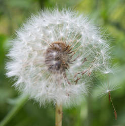 Dandelion by Persephonie1019