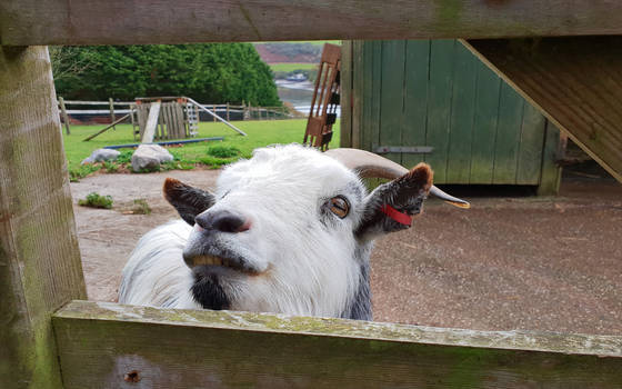 Goat Wants To Be Your Friend