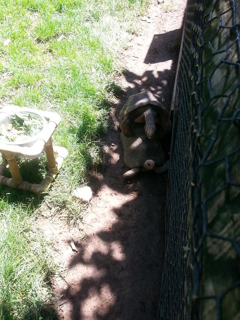 Mating Tortoises by GoddessSpiritwolf