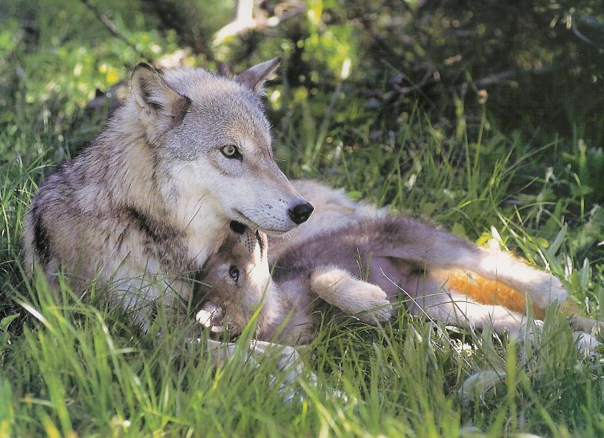 wolf kissing its cub - photo #16