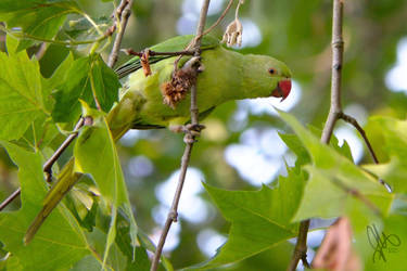 Feral Indian Ring-Necked Parakeet by NaturalModica
