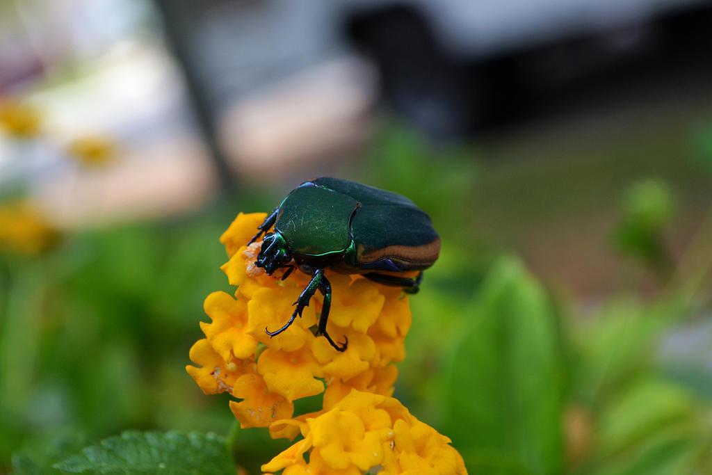 Figeater Beetle by piggy0ink on DeviantArt