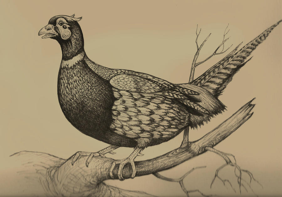 How to draw pheasant