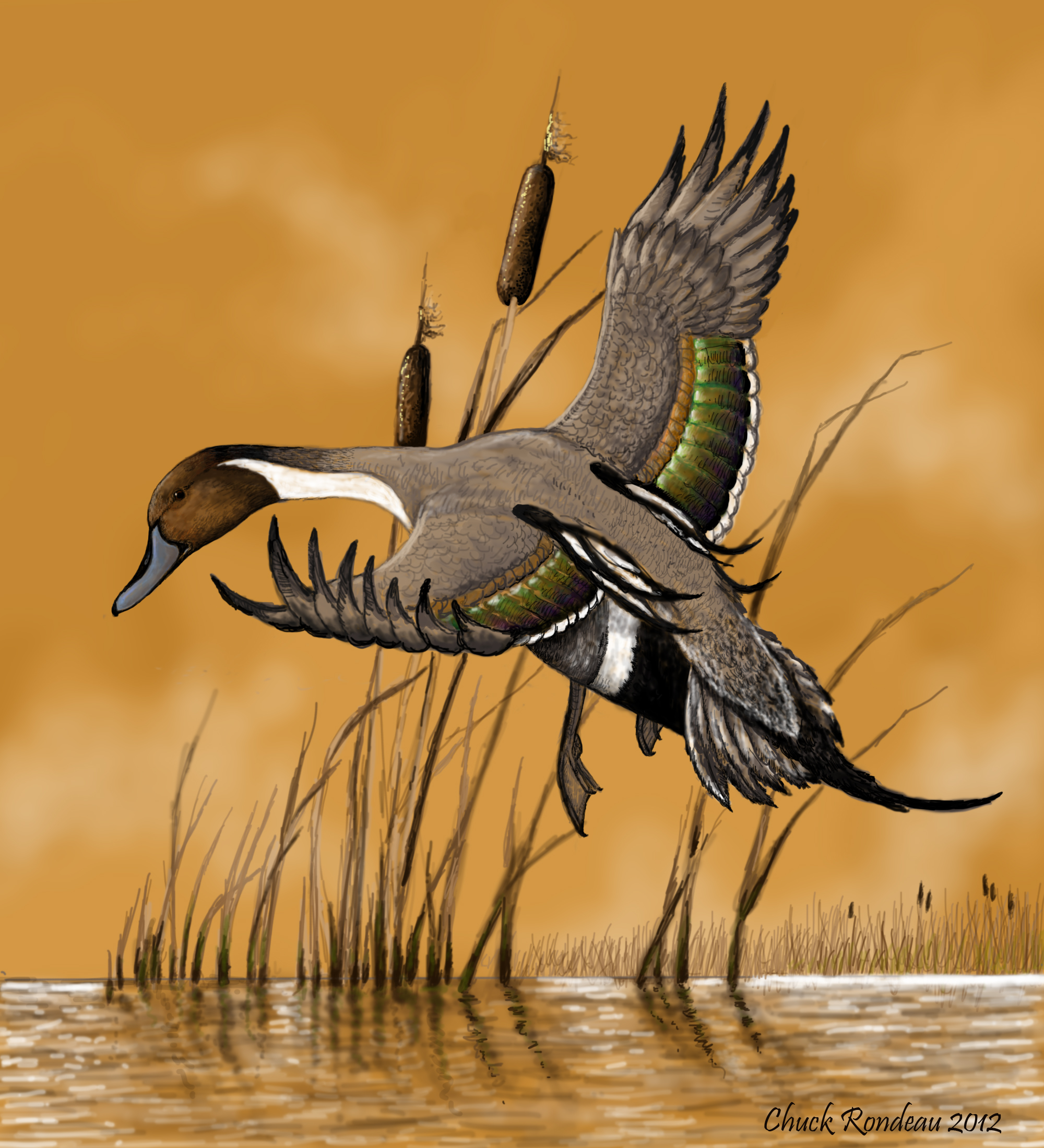 Perfect landing-Pintail Duck by ChuckRondeau on DeviantArt - photo#9