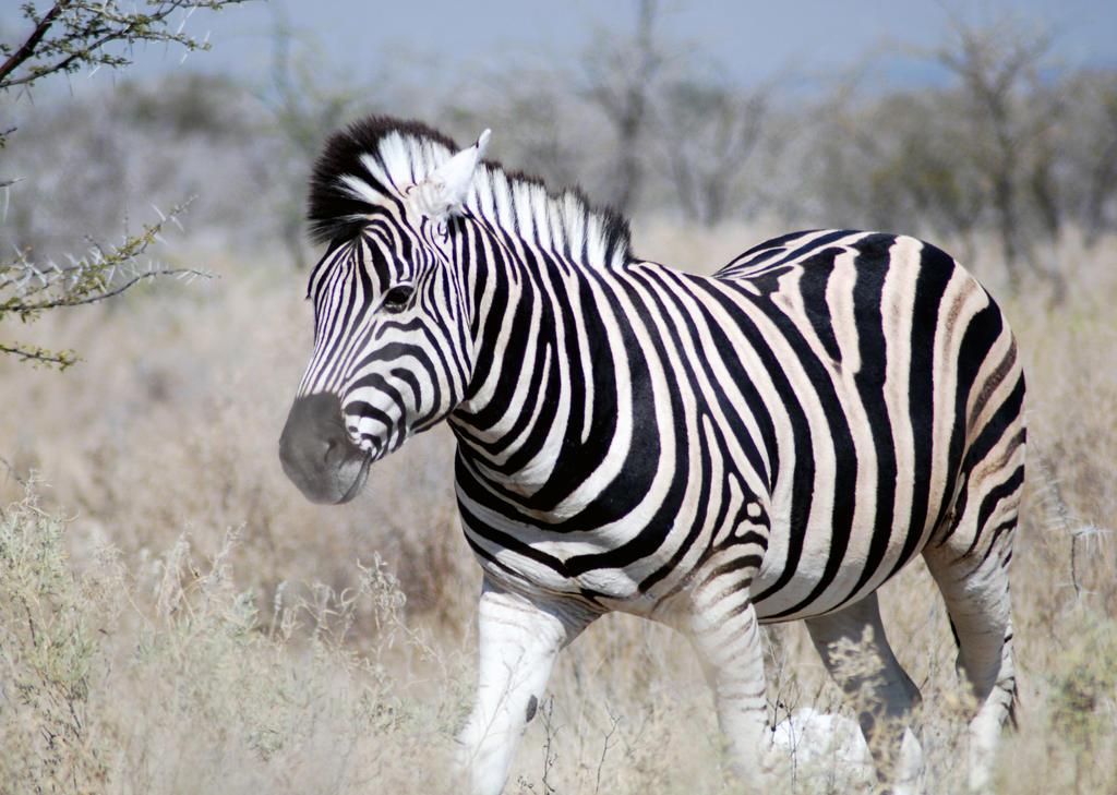 Zebra V by adischordantrhyme