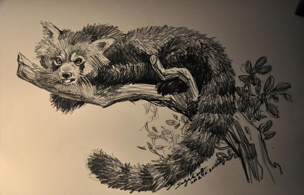 Red Panda sketch by banhatin on DeviantArt