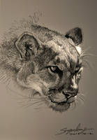 The cougar's head by banhatin