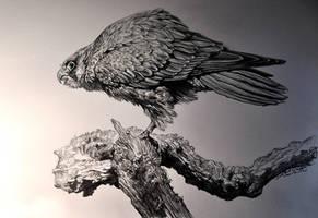 Peregrine Falcon by banhatin