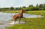 foal in the water