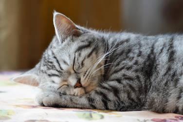 Sleeping cat2 by Lubov2001
