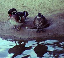 Wood Ducks Male and Female