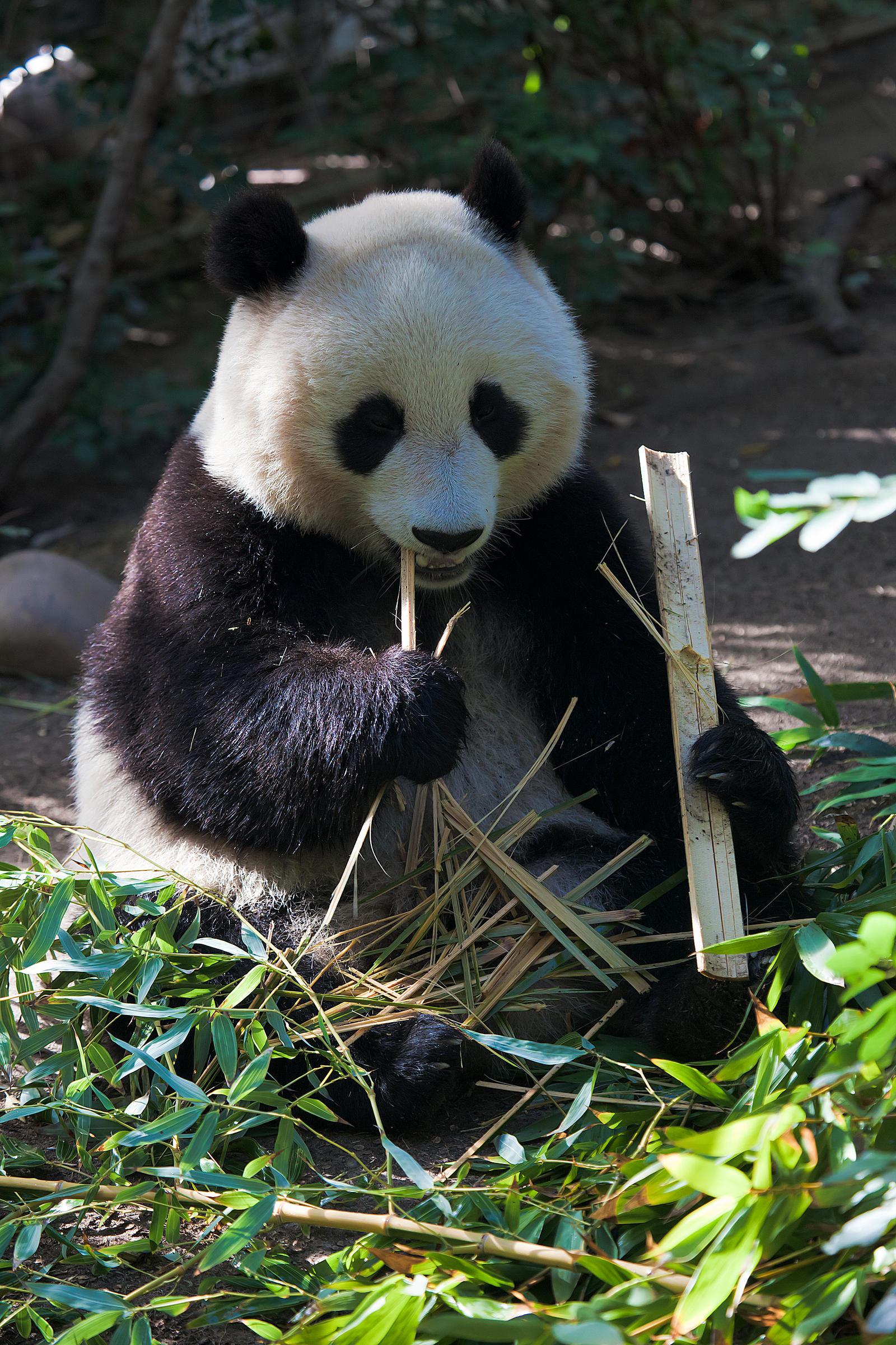 Panda Eating Bamboo ~ Panda eating bamboo by dkbarto on deviantart
