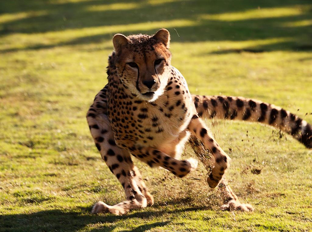 Cheetah 4 by dkbarto